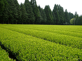 tea processing scenery1