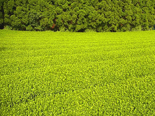 tea processing scenery13