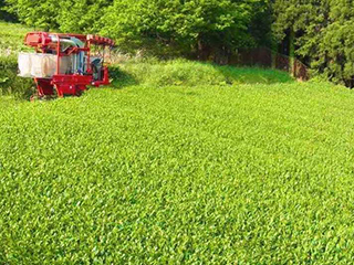 tea processing scenery14