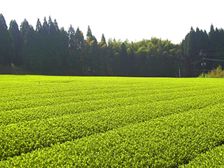 tea processing scenery15