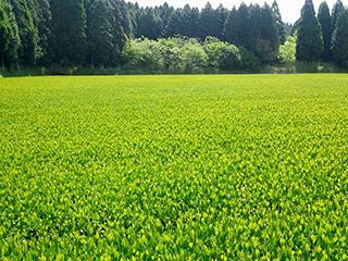 tea processing scenery16