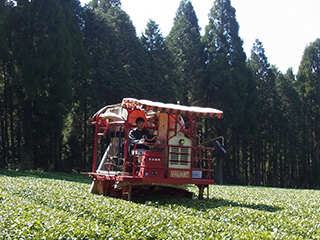 tea processing scenery17