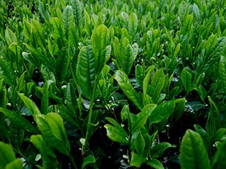 tea processing scenery18