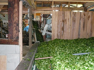tea processing scenery2