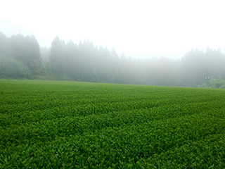 tea processing scenery21