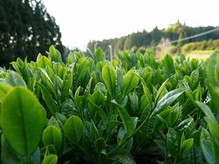 tea processing scenery23