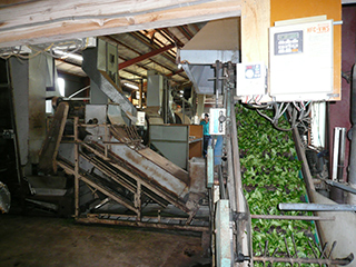 tea processing scenery3